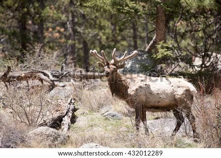 Bull elk looking at photographer - stock photo