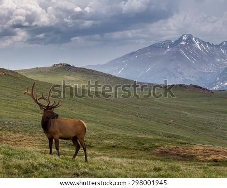 Bull Elk on Trail Ridge Road - stock photo