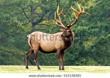elk stock images royaltyfree images amp vectors shutterstock
