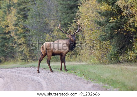 Bull Elk Saskatchewan Canada - stock photo