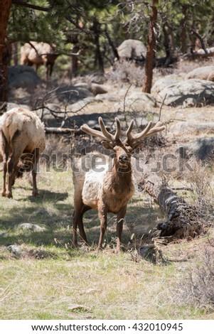 Bull elk stares down photographer in Colorado - stock photo