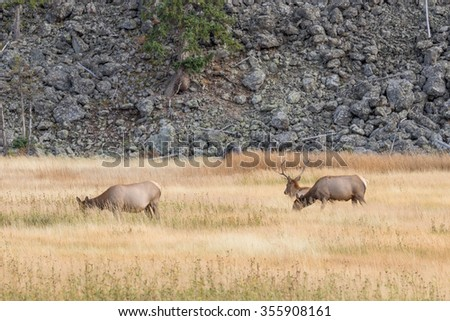 Bull Elk With Cows in the Rut