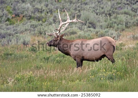 Bull Elk with Felt falling from horns licking lips - stock photo