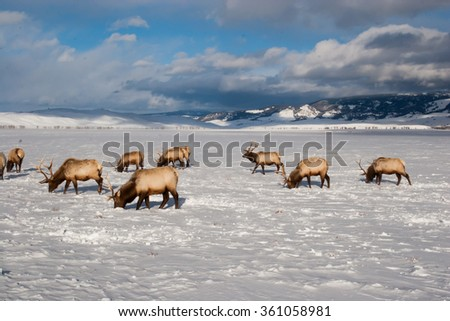 Bull elk with horns in the winter snow - stock photo