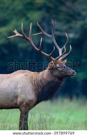 Bull elk with huge antlers - stock photo