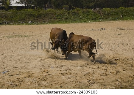 bull fight in india - stock photo