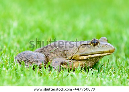 BULL FROG IN A MICHIGAN LAWN