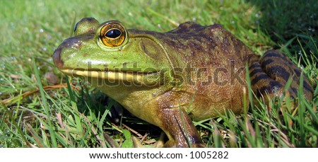 Bull frog in the grass