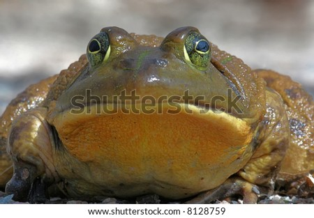 Bull Frog just after emerging from hibernation in early spring