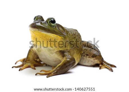 Bull Frog on a White Background - stock photo