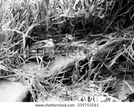 Bull Frog on the Edge of the Water in Black and White. - stock photo