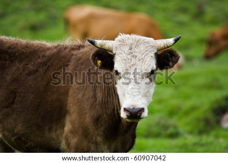 Bull in a pasture - stock photo