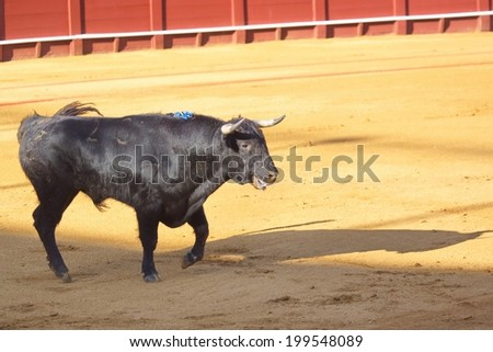 Bull is ready for bullfight, Bullfight arena, Seville, Spain - stock photo