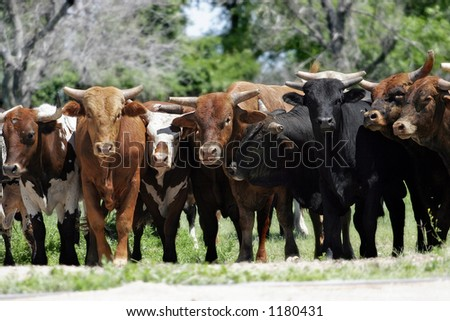 Bull Market ~ A line of young bulls block access to a country road (shallow focus).