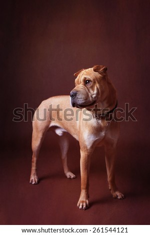Bull mastiff crossed with share pei standing up on dark background  - stock photo