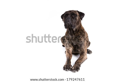 Bull mastiff dog on a white background