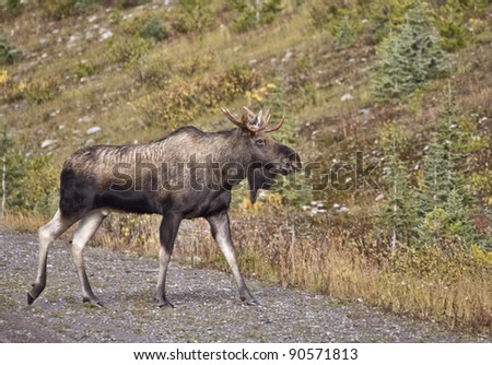 Bull Moose Alberta rocky Mountains full length - stock photo