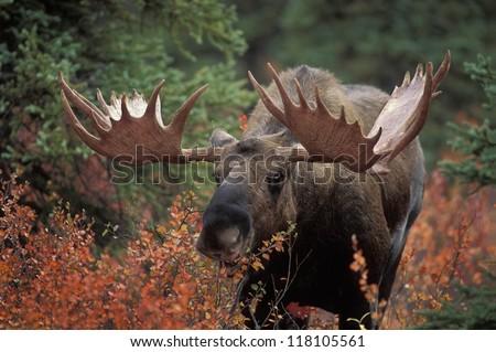 Bull moose (Alces alces) feeds on fall foliage of dwarf birch, Denali Nat'l Park, Alaska. - stock photo