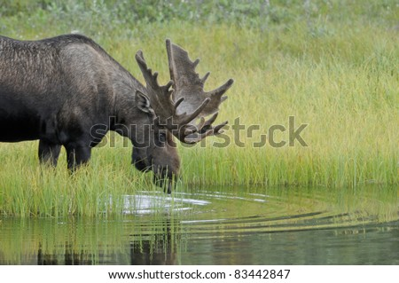 Bull Moose (Alces alces) with antlers in velvet enters a pond to feed on aquatic grasses. Denali National Park, Alaska. - stock photo