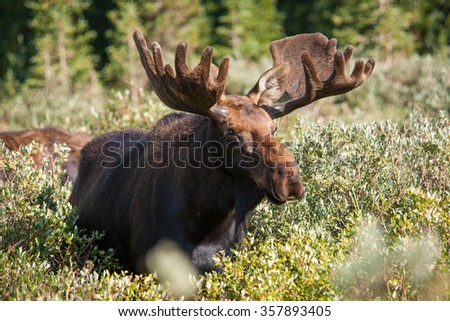 Bull moose eating willows at Brainard Lake, Indian Peaks Wilderness Area, CO.
