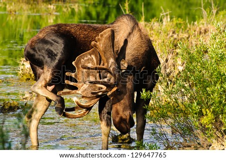 Bull Moose in a marsh, Grand Tetons NP, Wyoming - stock photo