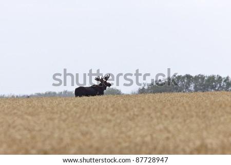 Bull Moose in Saskatchewan Prairie wheat bush - stock photo