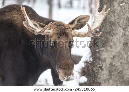 Bull Moose in winter