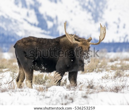 Bull moose standing and looking at camera in sagebrush meadow with Teton mountains in the background