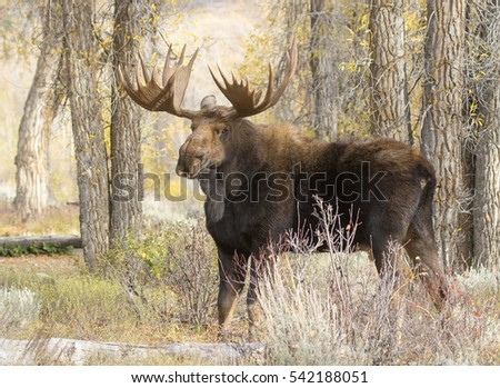 Bull moose standing in the forest with cottonwood trees