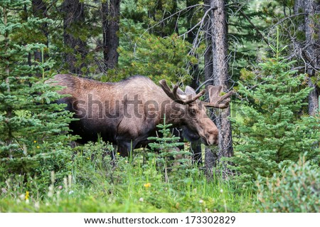 Bull moose with velvet antlers in the forest in the Canadian Rockies - stock photo