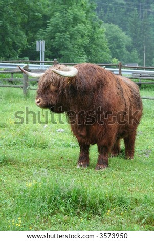 Bull on meadow