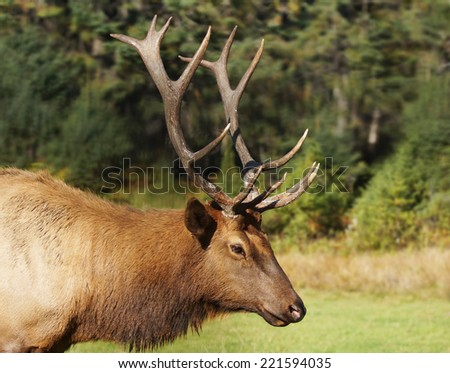 Bull or male elk,  Cervus canadensis, in rut during fall - stock photo