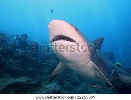Bull Shark - stock photo