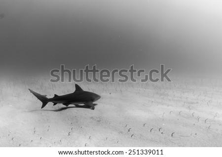 Bull shark, cabo pulmo national Park, Mexico. - stock photo