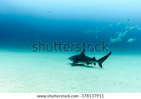 Bull Shark (Carcharhinus leucas). reefs of the Sea of Cortez, Pacific ocean. Cabo Pulmo, Baja California Sur, Mexico. The world's aquarium. - stock photo