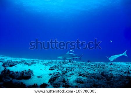 Bull sharks hunting for dinner - stock photo