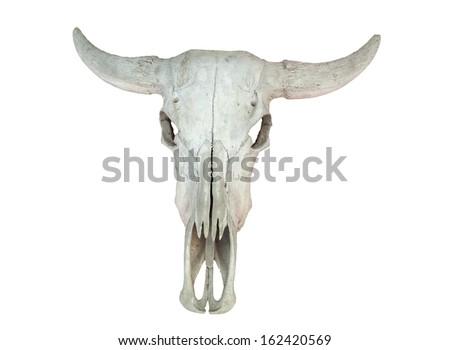 Bull Skull  - stock photo