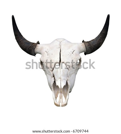 Bull Skull isolated with clipping path - stock photo