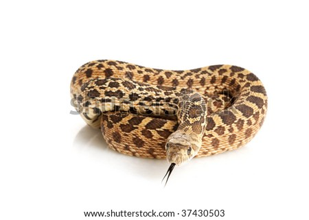 Bull Snake (Pituophis catenifer sayi) on white background.