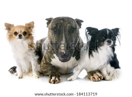 bull terrier  and chihuahuas in front of white background