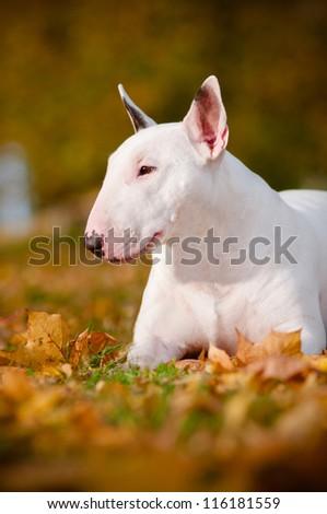 bull terrier dog portrait autumn - stock photo