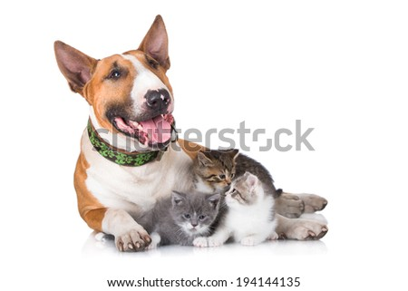 Bull terrier dog with kittens