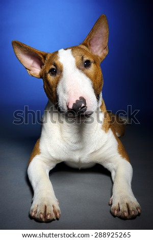 Bull terrier, funny portrait of lying breed dog on blue grey background, studio shoot