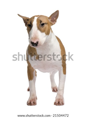 Bull Terrier (11 months) in front of a white background - stock photo