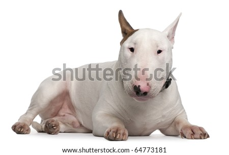 Bull Terrier, 9 months old, lying in front of white background - stock photo