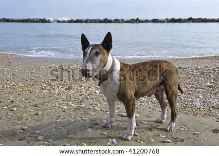 Bull terrier on the beach. - stock photo