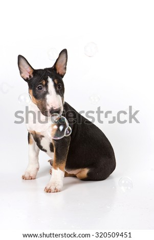 Bull terrier puppy and soap bubbles (isolated on white) - stock photo