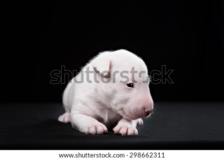 Bull Terrier puppy in decorated studio