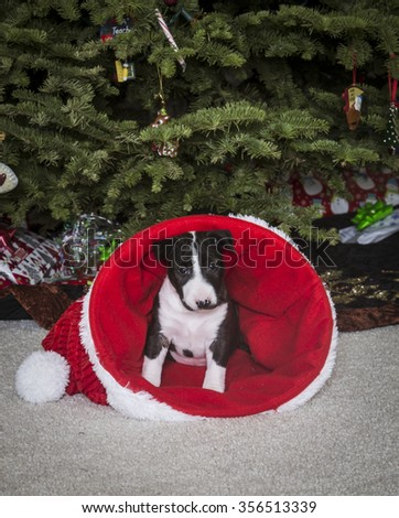 Bull Terrier puppy inside of a Santa hat in front of the Christmas tree - stock photo