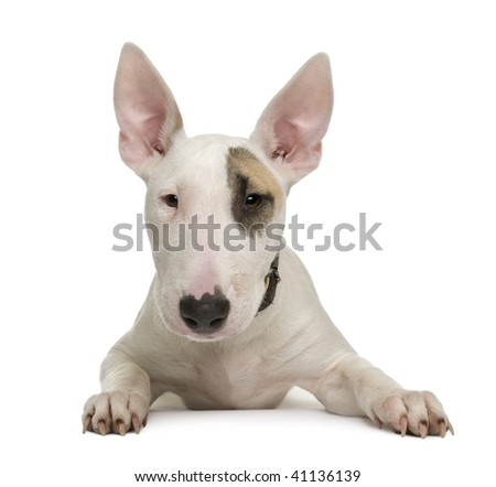 Bull Terrier puppy, 5 months old, in front of a white background, studio shot - stock photo